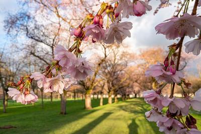 Kirschblüte im Schlossgarten Schwetzingen