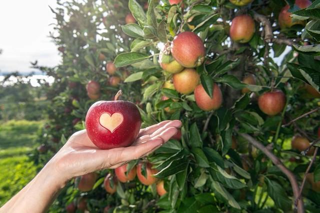 Apfelwochen am Bodensee