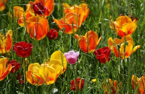 Blumeninsel Mainau am Bodensee, Tuplenwiese