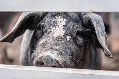 Schwäbisch-Hälisches Landschwein