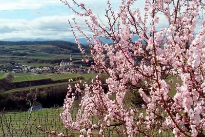 Mandelblüte bei Kiechlingsbergen am Kaiserstuhl