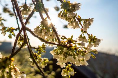 Obstblüte im Renchtal
