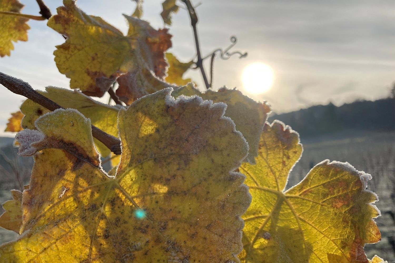 Weinblätter im Winter