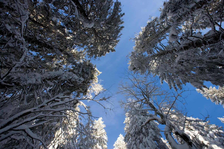Schwarzwald Winter Blick nach oben