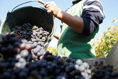 Weintrauben dunkel - Rotweinland