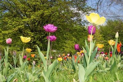 Gönningen Tuplenblüte